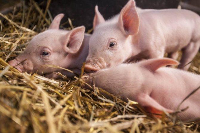 Глисты у свиней: пути заражения, лечение и профилактика